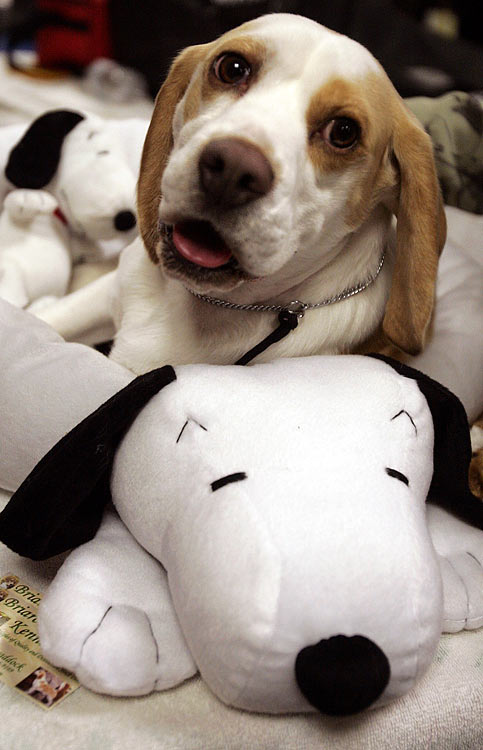 Maxxim, a beagle, rests backstage during the first day of the Westminster Dog Show.