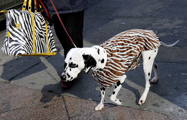 A Dalmatian named Mia heads to Madison Square Garden the day before the 135th Westminster Kennel Club Dog Show.