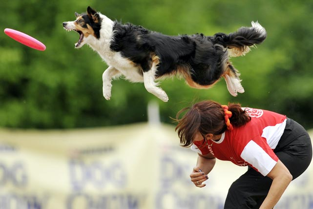 A border collie leaps for a frisbee during the Skyhoundz Disc Dog European championship in Budapest, Hungary on June 19.