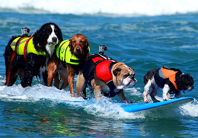 These four dogs, Nani, Ricochet, Dozer, and Toby (L-R), share a surfboard and a good time at the Helen Woodward Animal Center Surf Dog Surf-A-Thon. When was the last time you saw four humans on the same surfboard?