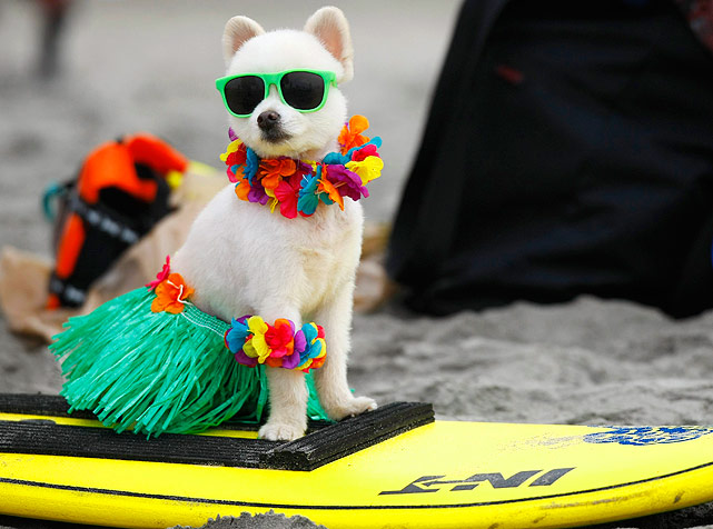 This six-year old Pomeranian aptly named Bobby Gorgeous waits to compete in his costume contest at the 4th annual Helen Woodward Animal Center Surf Dog Surf-A-Thon.