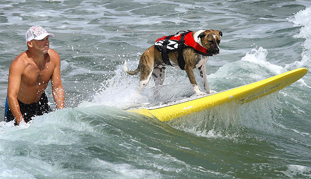 Ralph, a purebred mutt, surfs a wave with his owner on the beach of Mt. Maunganui, near Auckland, New Zealand.