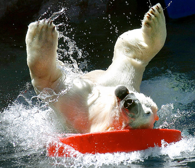 Never thought you'd see a surfing polar bear? Well, this fluffy beast stays cool as it does a little disk surfing on a beautiful spring day at the Rio Grande Zoo in Albuquerque, N.M.
