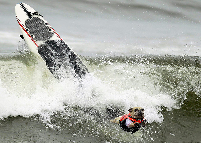 Unfortunately, this dog does not look so primed to get a high score, as he leaps from his board while wiping out.