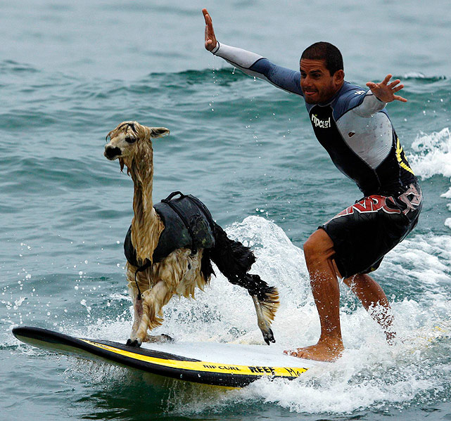 Peruvian surfer Domingo Pianezzi rides a wave with his alpaca Pisco at a beach in Lima. Pianezzi has spent a decade training dogs to ride the nose of his board when he catches waves, and now he is the first to do so with an alpaca.
