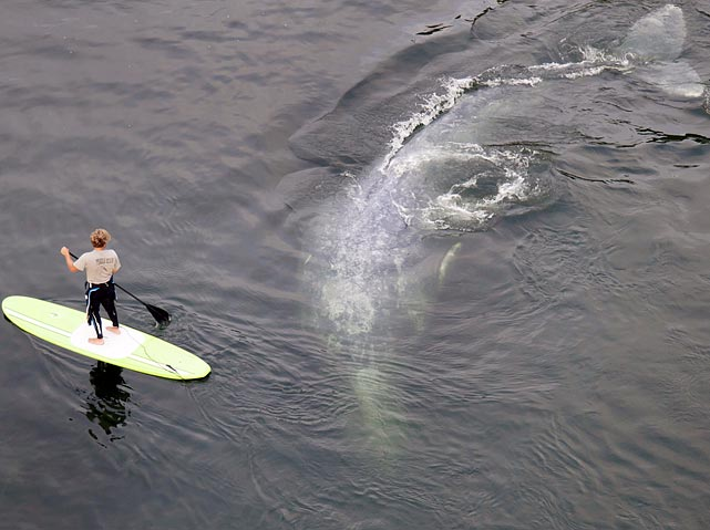 A paddle boarder casually encounters a gray whale while paddling in California's Klamath River. The whale and her calf entered the river in late June during their northward journey from breeding ground in Baja California to Alaska. The rescue team spotted what they believed to be the calf swimming to sea on July 23, and scientists said the calf was mature enough to survive its journey to Alaska.