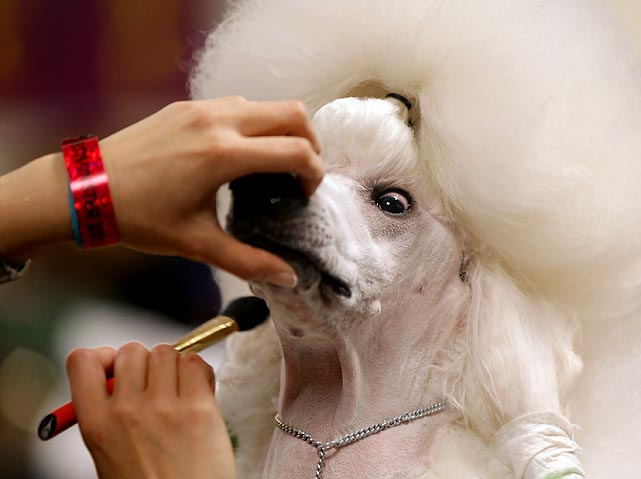 Sophie, a wide-eyed Standard Poodle, is groomed before being shown.