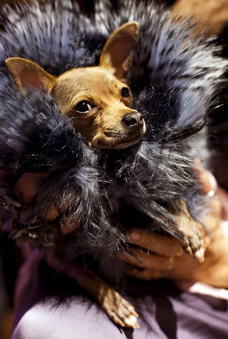 Miu Miu, a Chihuahua, strikes a dashing pose at the pre-Westminster fashion show.