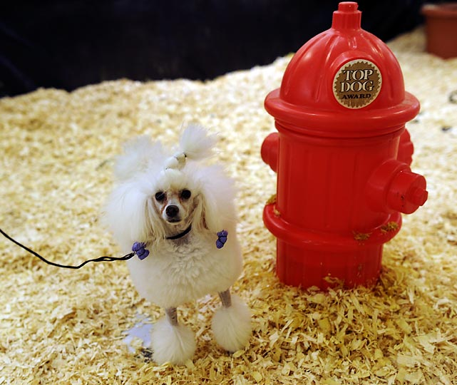 A toy poodle relieves itself at the indoor bathroom at the Hotel Pennsylvania.