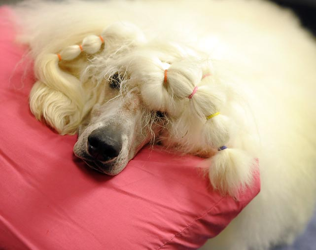 A Standard Poodle with pigtails takes a quick rest.