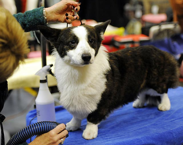 Libby, a Cardigan Welsh Corgi, gets all fluffed up.