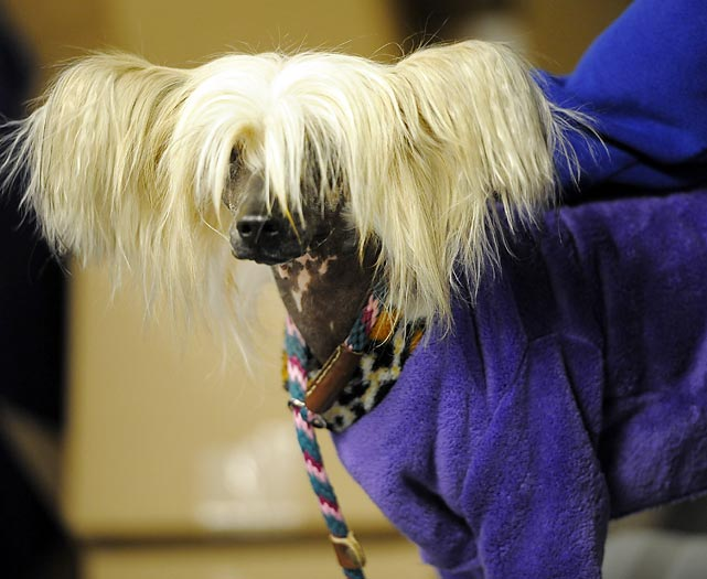 Clara, a Chinese Crested, waits in the staging area.