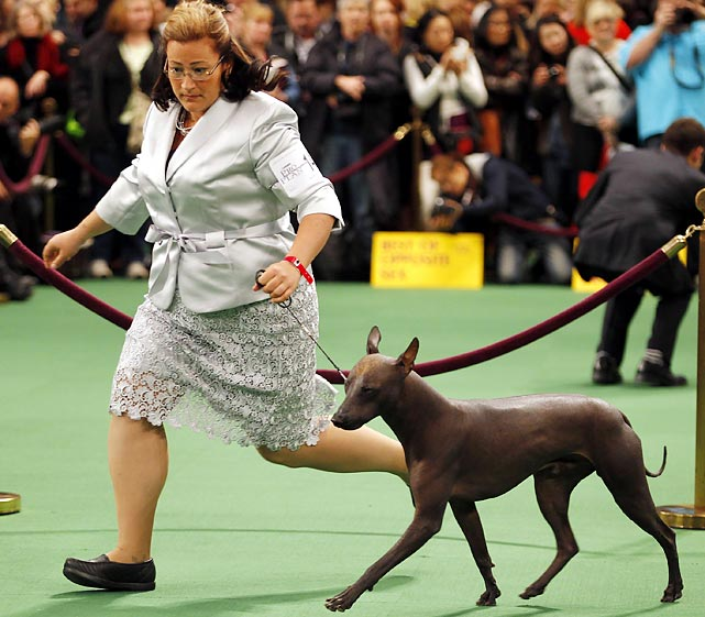 Handler Gwen DeMilta shows Bayshore Georgio Armani, the winner of the Xoloitzcuintli breed. The Xoloitzcuintli was one of six breeds competing in the Westminster show for the first time.