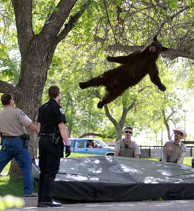 Speaking of dropping in, a bear that wandered into a University of Colorado dorm complex fell from a tree after being tranquilized. (Kind of reminds you of your own college daze, doesn't it?) The bear reportedly had a prominent role in a beer commercial that you can watch by clicking here.
