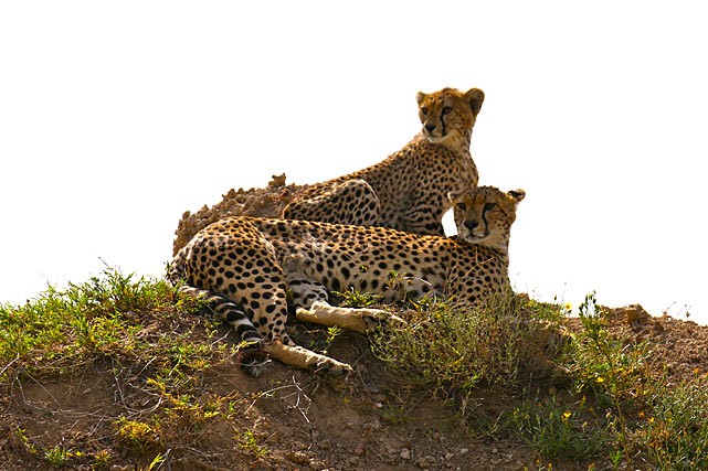 I used my 400mm lens to shoot these two cheetahs from about 150 feet away in the Serengeti National Park.