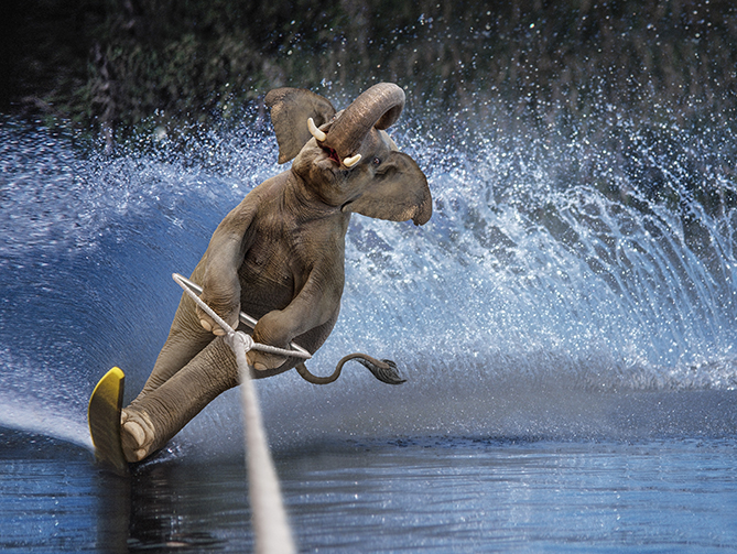You'd think it'd be nearly impossible to get elephants up on water skis, but it's easier than it looks. Their giant feet create a wide base that distributes their weight, giving them tremendous balance. Also, their trunks make it easy for them to breathe underwater when they wipe out.