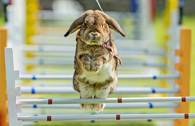 Talk about mad hoppin' down the bunny trail! These specially bred rabbits can leap higher than three feet in the air as they navigate the obstacle-filled course. The sport began in Sweden and has now spread as far away as the U.S. and Australia.