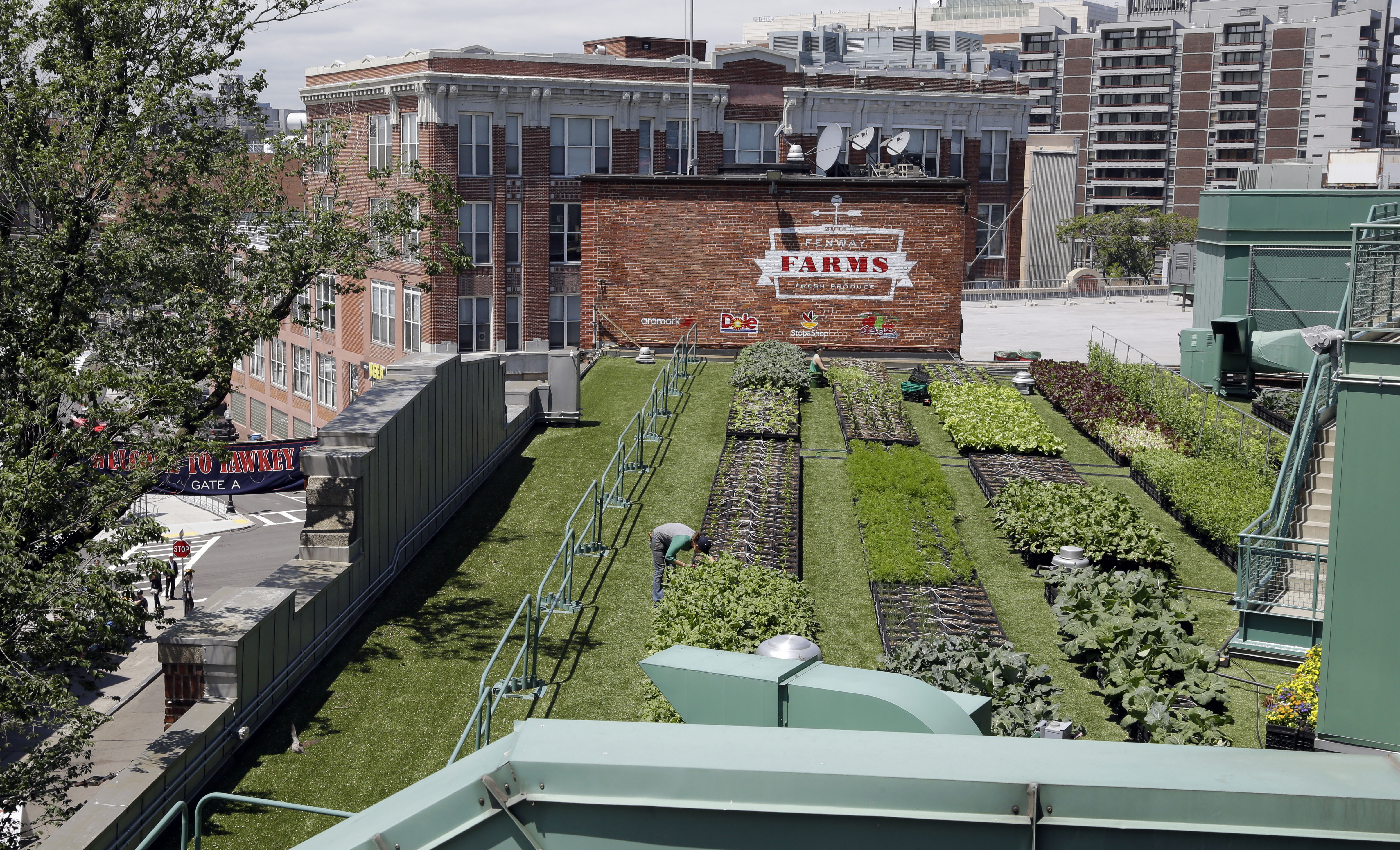 In this photo taken June 4, 2015, workers cultivate produce at a rooftop garden on the third-base side of Fenway Park in Boston. Produce grown in the 5,000-square-foot garden is used in food and cocktails sold at the concessions, at nearby restaurants and