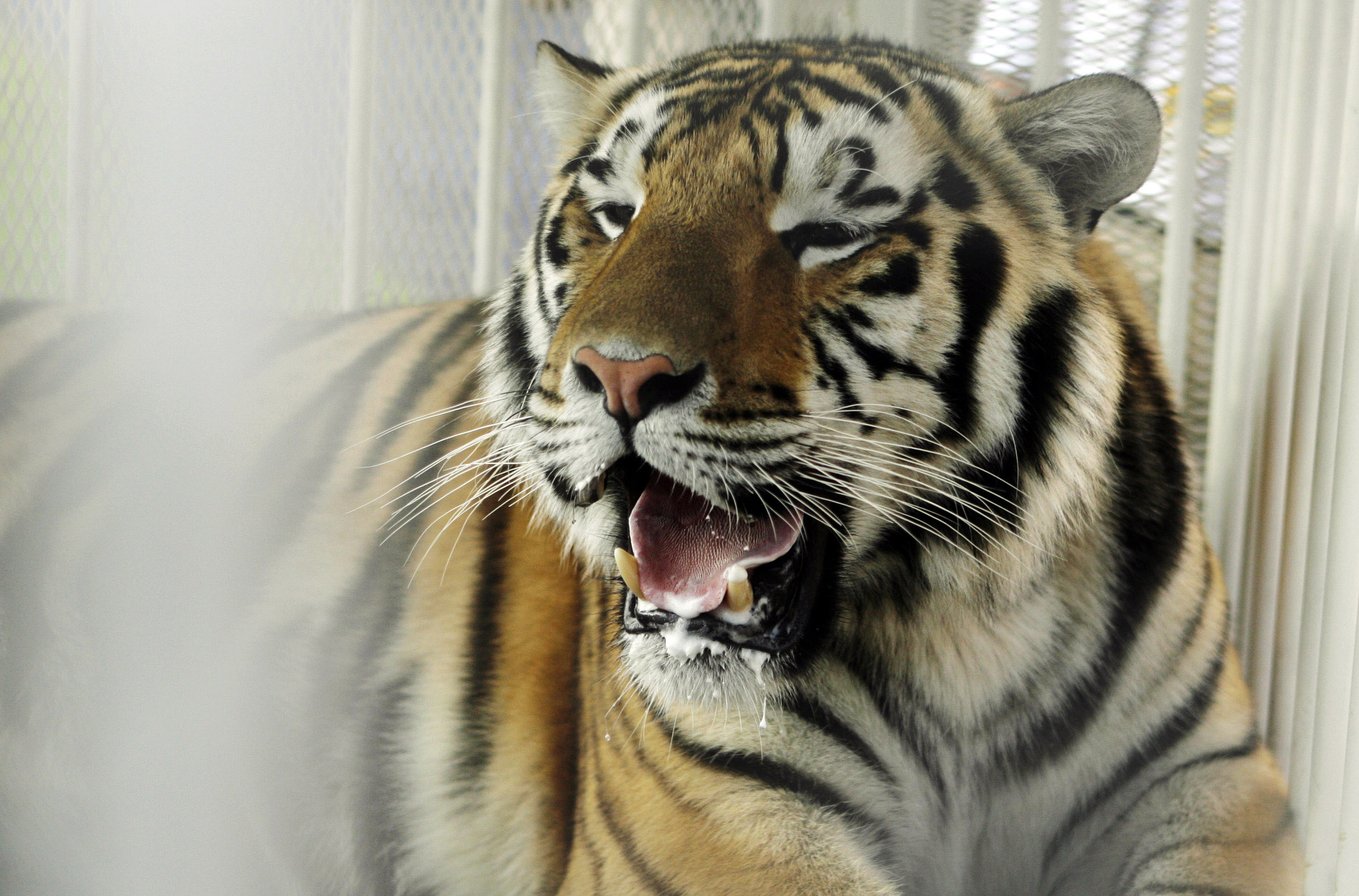 FILE - In this Oct. 6, 2007, file photo, LSU mascot Mike VI, a part Bengal and Siberian tiger, sits in his cage on the field for his first time before an NCAA college football game between LSU and Florida in Baton Rouge, La. Cancer found in the skull of L