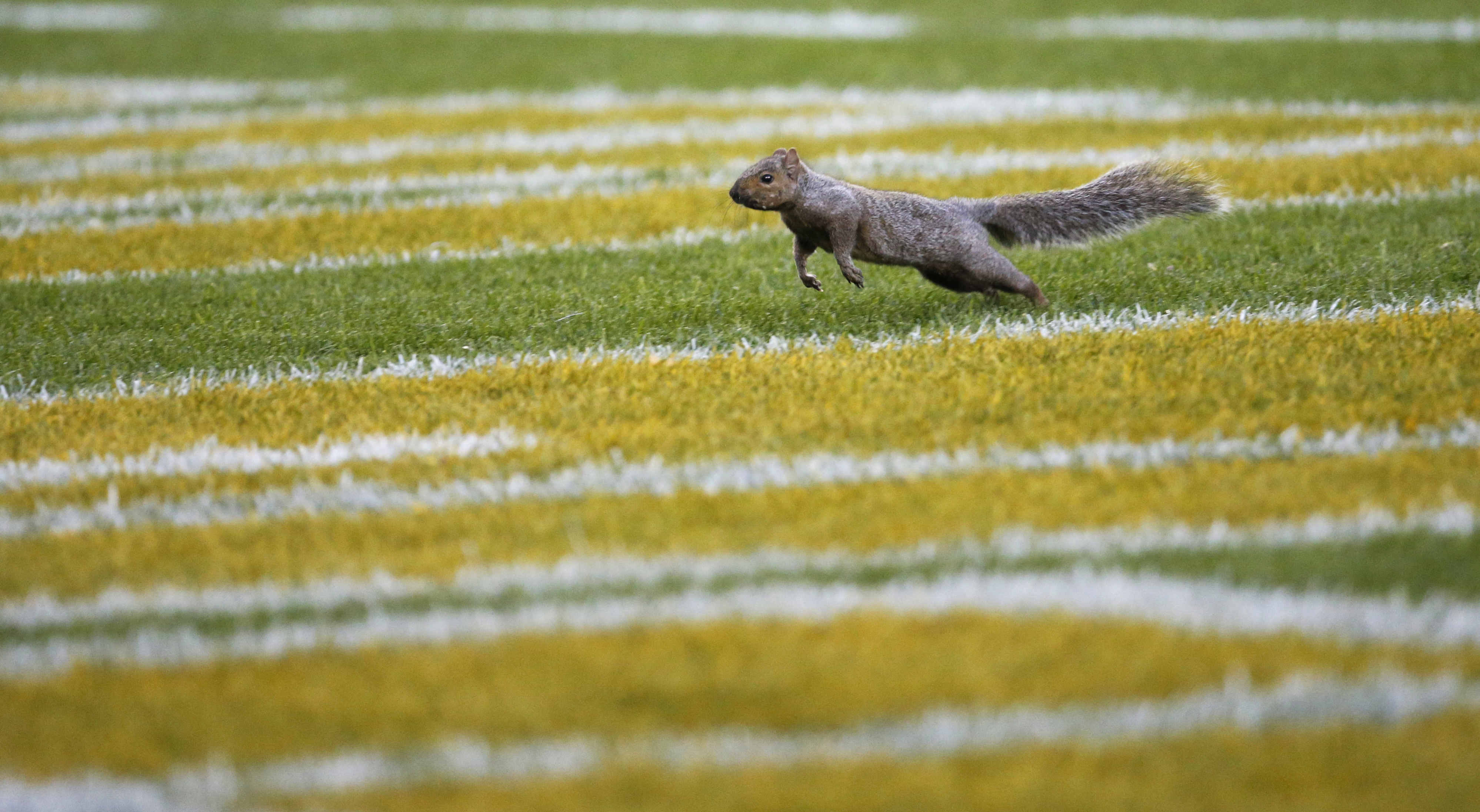 A squirrel runs in the end zone at Lambeau Field during the first half of an NFL football game between the Green Bay Packers and the Indianapolis Colts Sunday, Nov. 6, 2016, in Green Bay, Wis. (AP Photo/Mike Roemer)