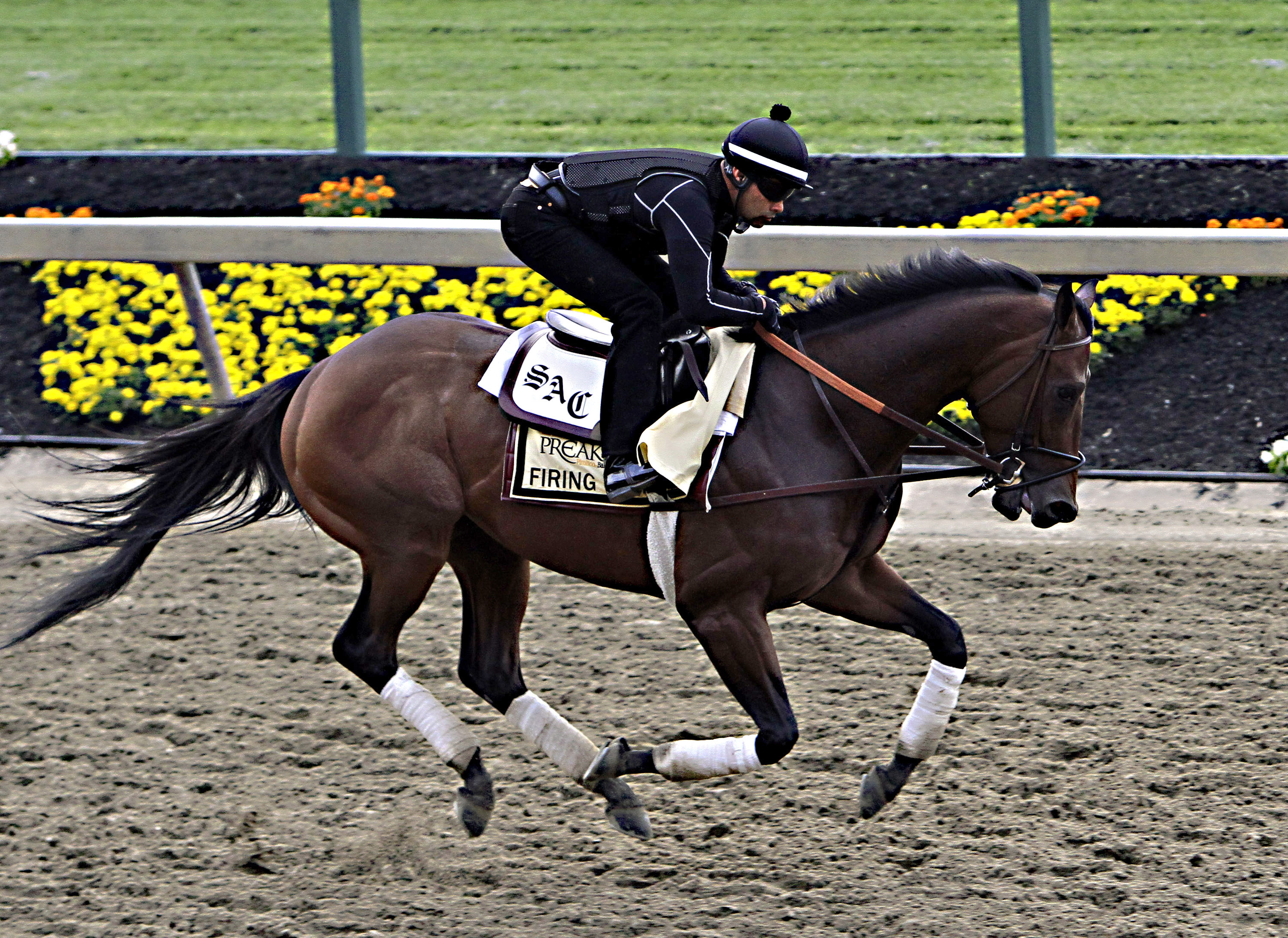 Exercise rider Umberto Gomez gallops Preakness Stakes entrant Firing Line at Pimlico Race Course in Baltimore, Friday, May 15, 2015.  (AP Photo/Garry Jones)