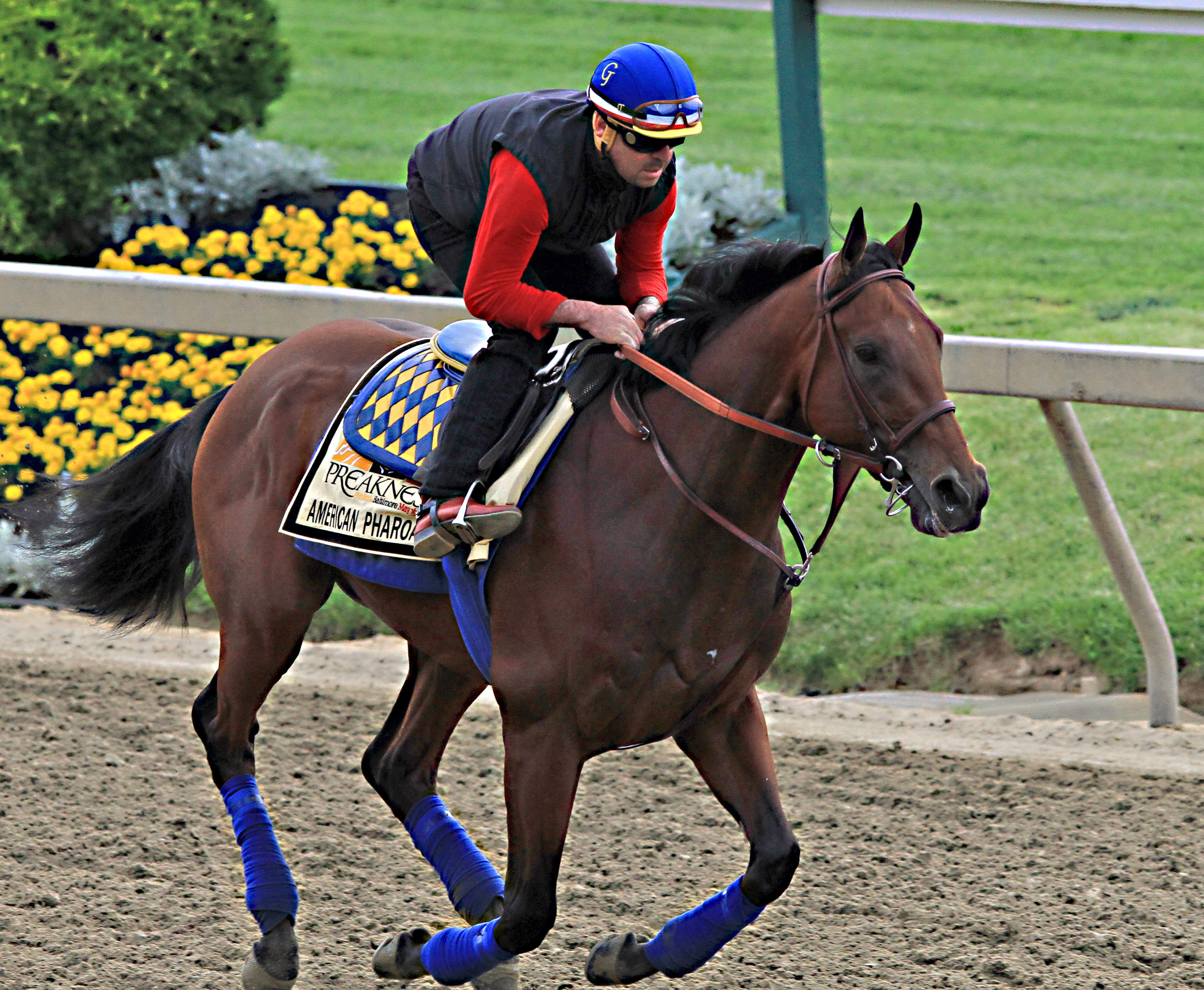 Exercise rider Jorge Alvarez gallops Preakness Stakes entrant American Pharoah at Pimlico Race Course in Baltimore, Friday, May 15, 2015.  (AP Photo/Garry Jones)