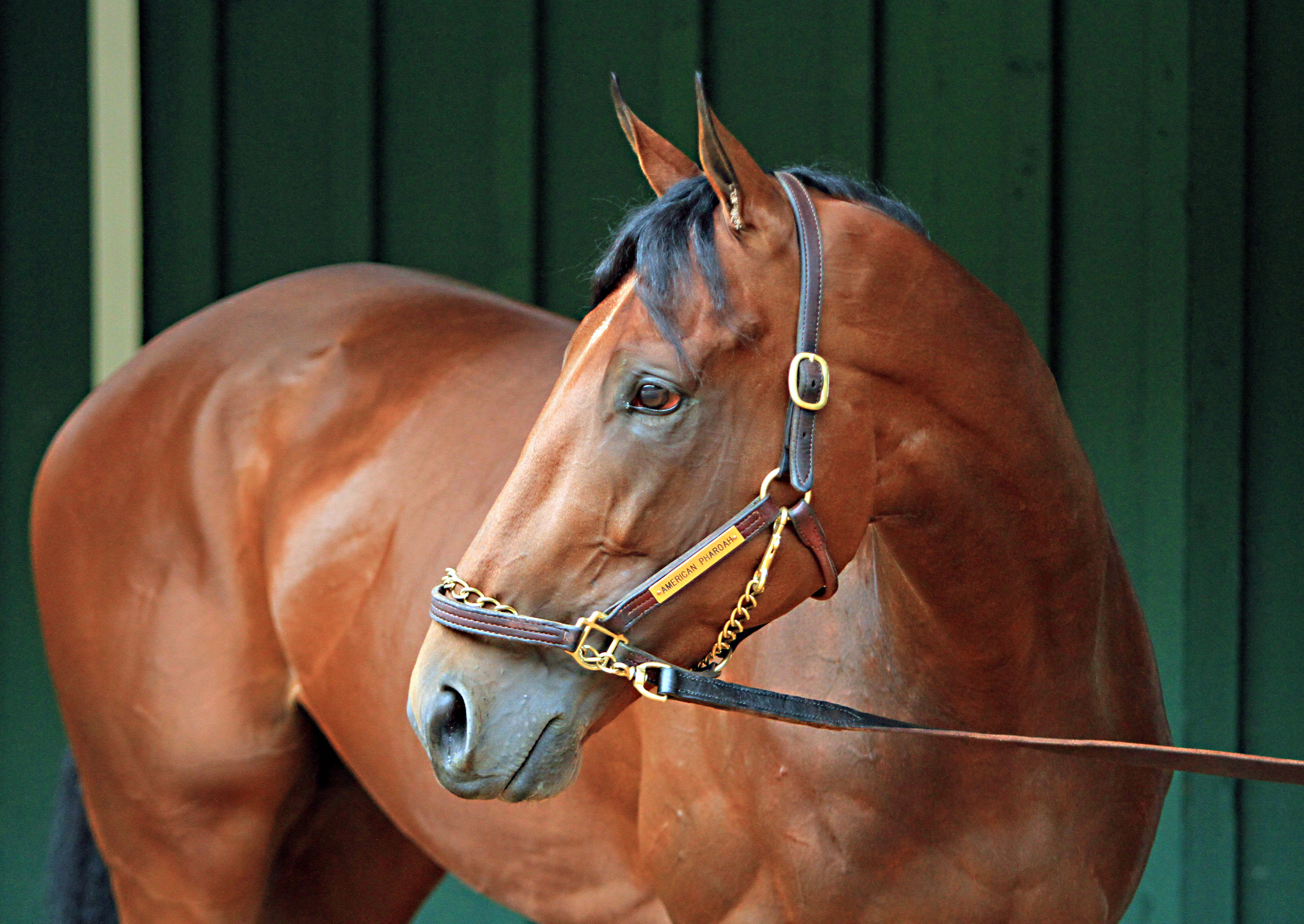 Preakness Stakes winner American Pharoah stops his morning walk to check out the crowd around the stakes barn, Sunday, May 17, 2015 at Pimlico Race Course in Baltimore.  (AP Photo/Garry Jones)