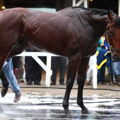 After galloping at Churchill Downs on May 31, American Pharoah enjoyed a postworkout bath.