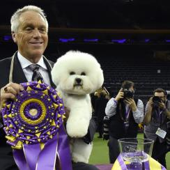 Flynn the Bichon Frise was named best in show at the Westminster Kennel Club