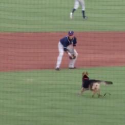 Tulsa Drillers dog delay video