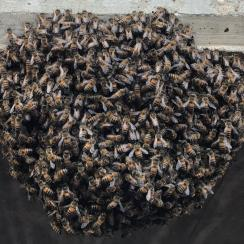 Corpus Christi Hooks game delayed by bees (photos)