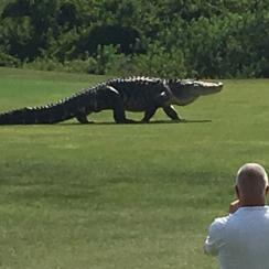 A giant alligator roams Buffalo Creek Golf Club in Palmetto, Florida.