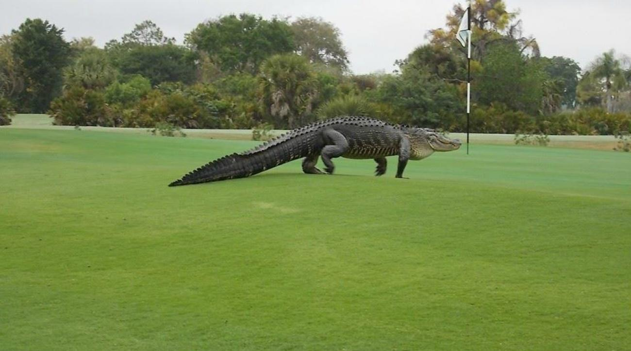 Massive alligator invades Florida golf course