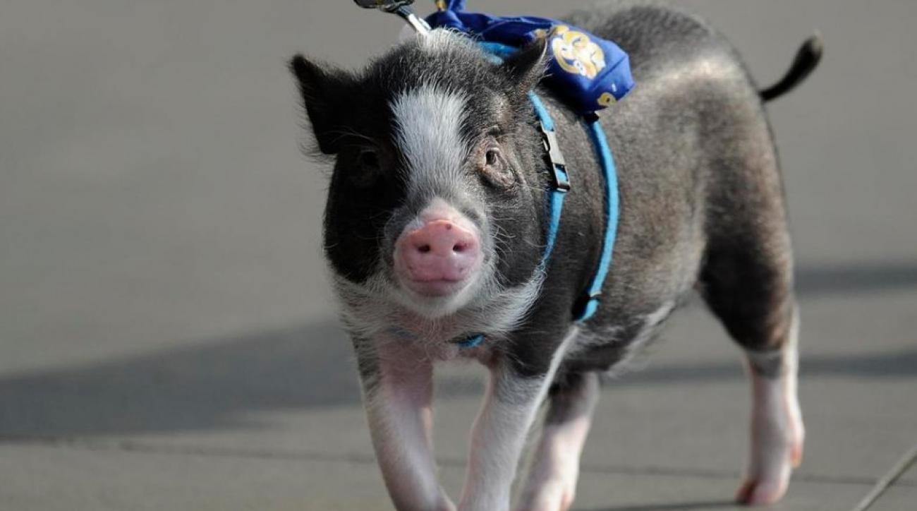 Minor league team hosts priness night for pig mascot