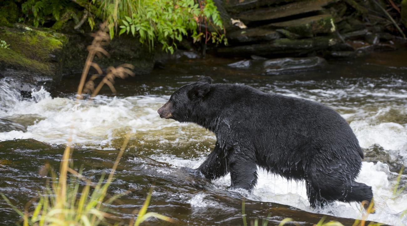 new jersey bear fight video