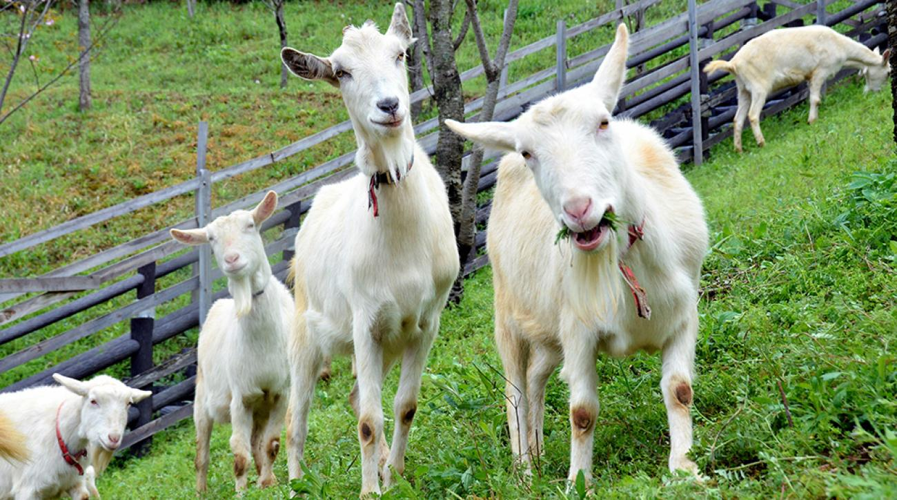 hartford yard goats whalers colors logo uniforms