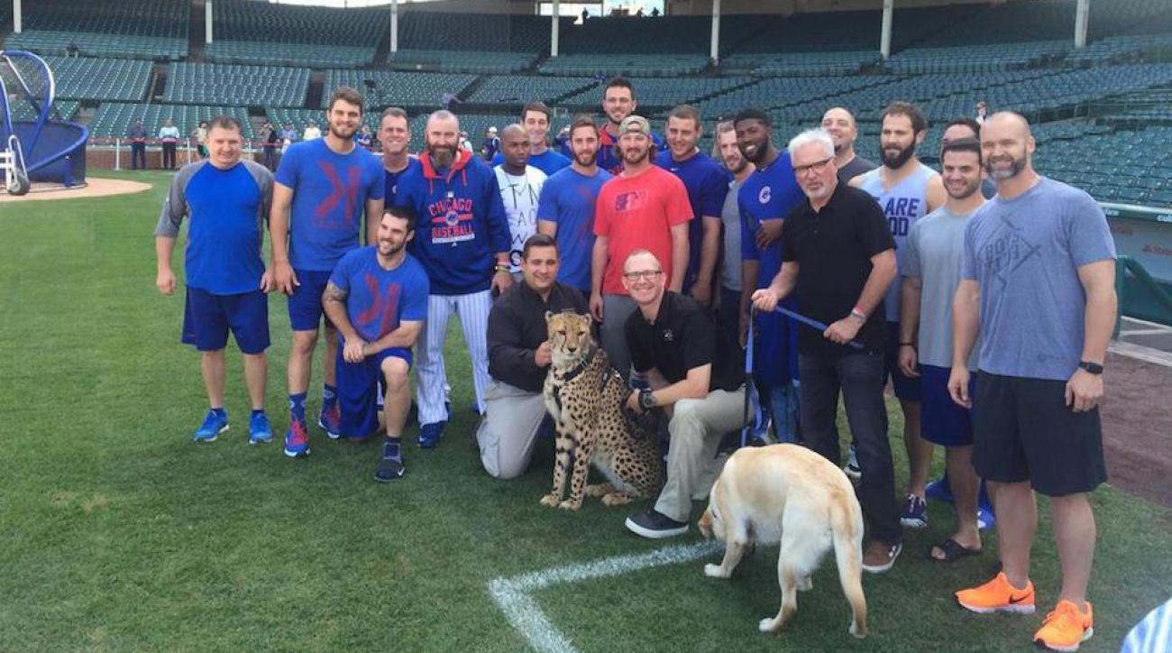 chicago cubs joe maddon cheetah selfies