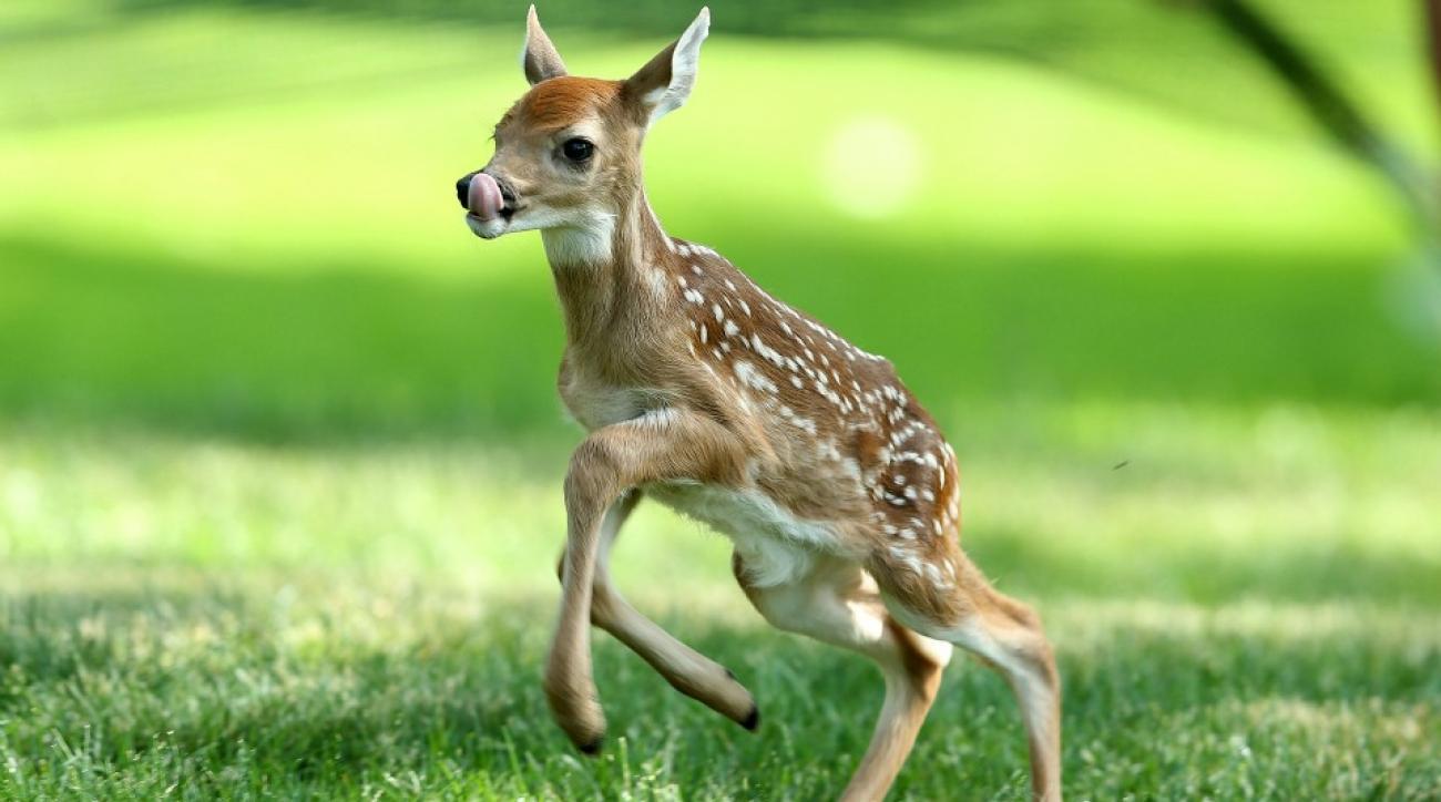 Deer runs onto soccer field