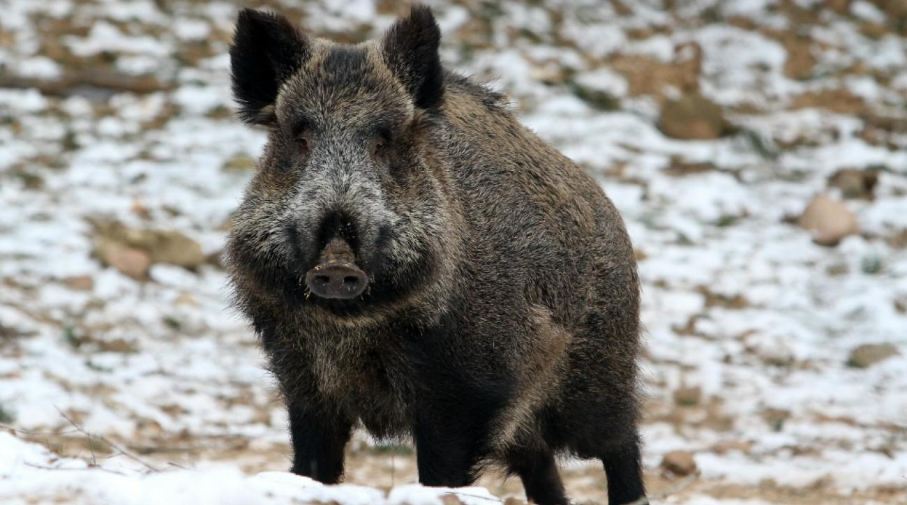 Wild Boar Curling in Sweden