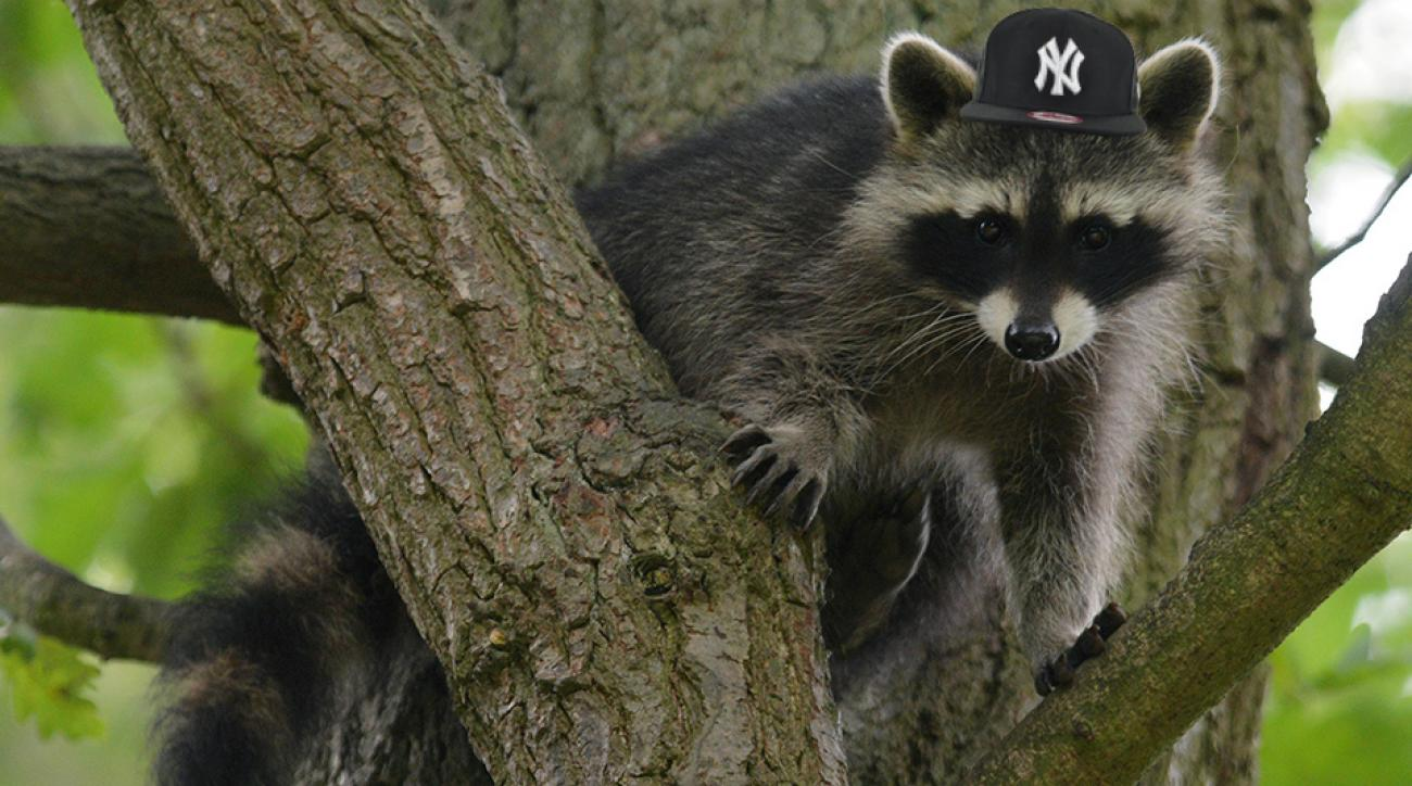 yankees spring training raccoon rescue fall video