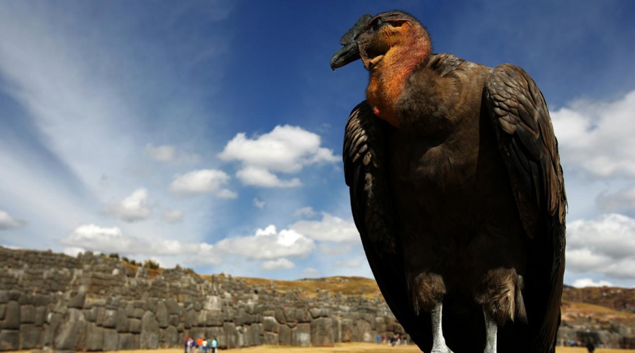 condor clippers mascot