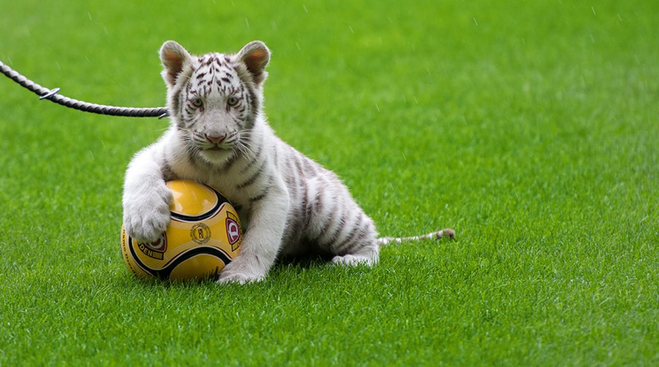 tiger doha qatar traffic video