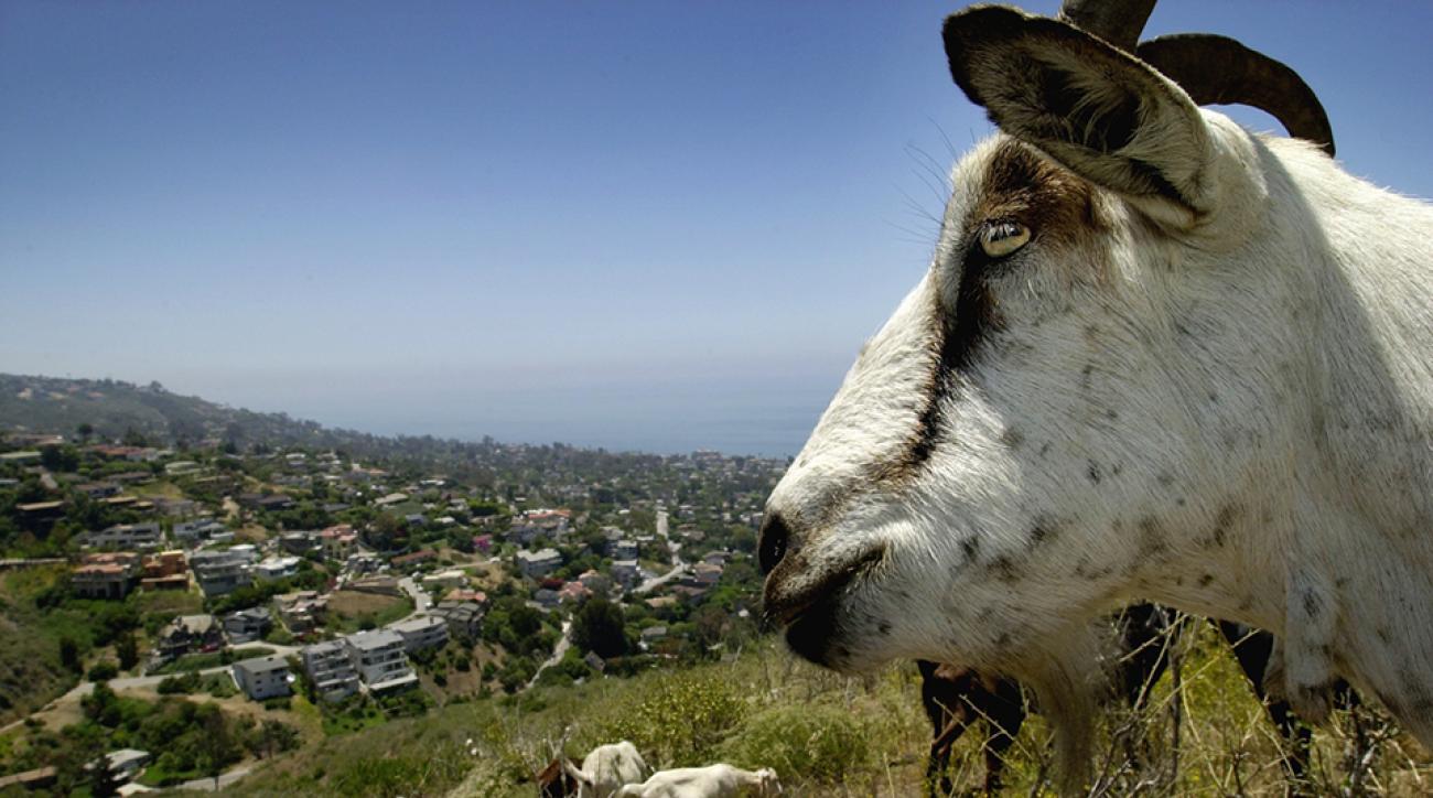 goat rescue horns power line video greece