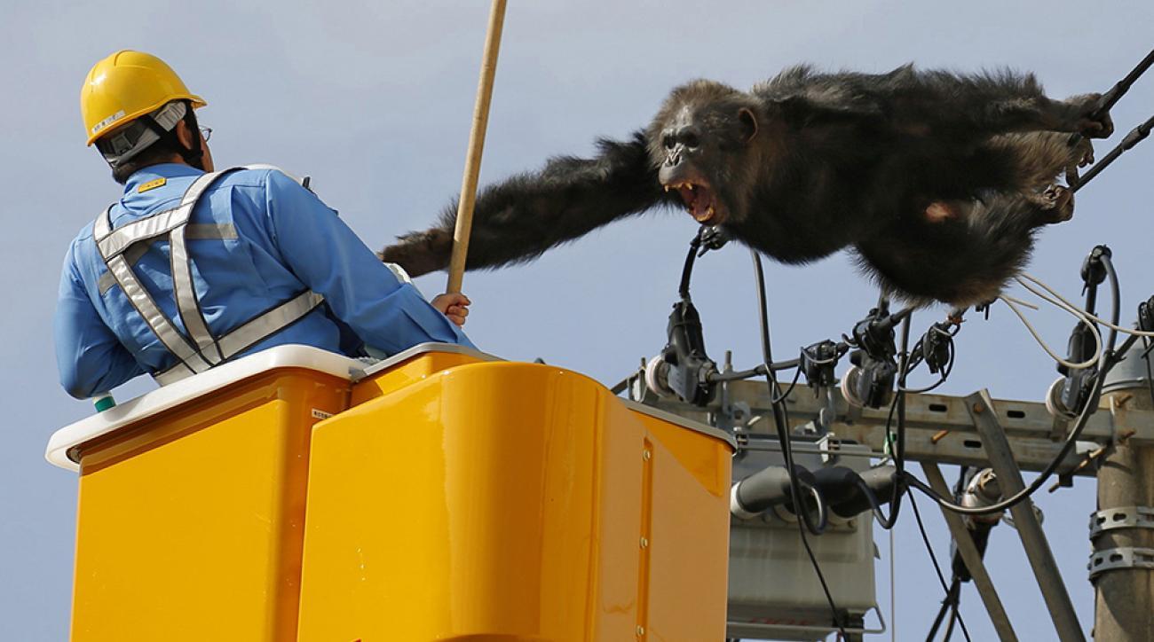 monkey escape chimpanzee kyoto japan zoo video