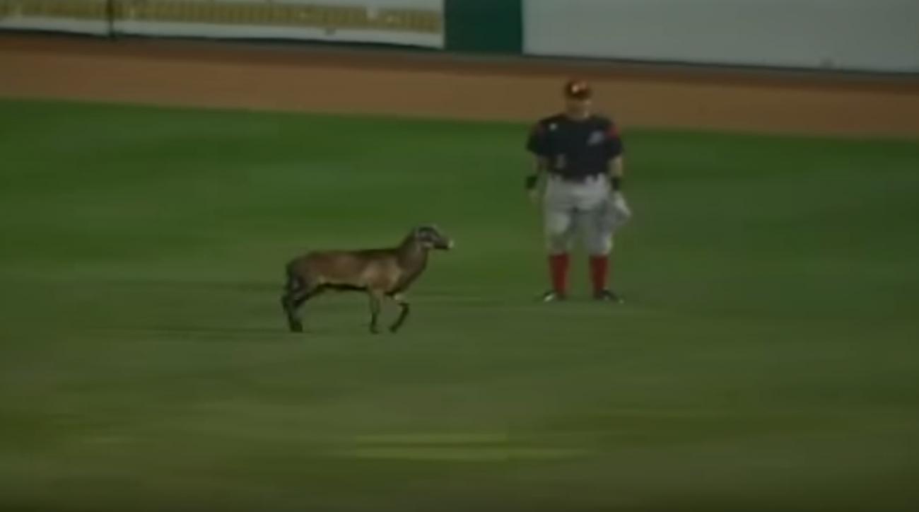 minor league baseball sheep delay video