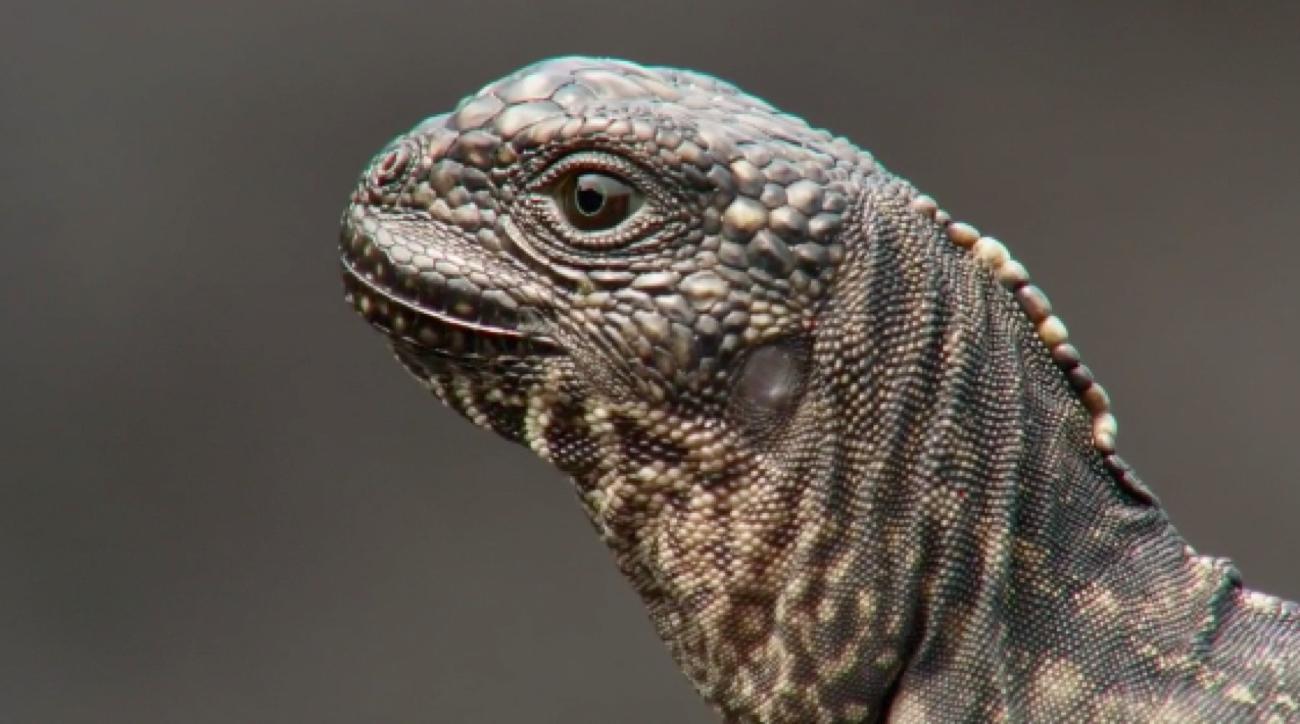 marshawn lynch iguana chase
