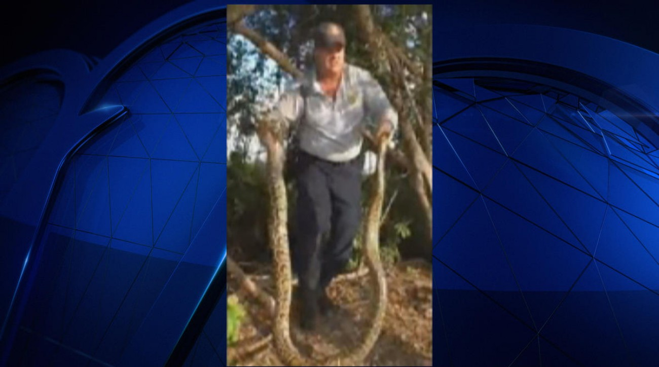 A giant Burmese python was found on an abandoned golf course in Homestead, Fla.
