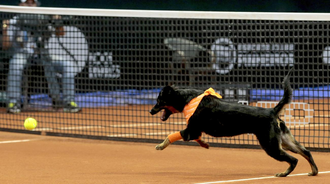 Ball dogs are back at the Brazil Open tennis tournament for a second straight year.
