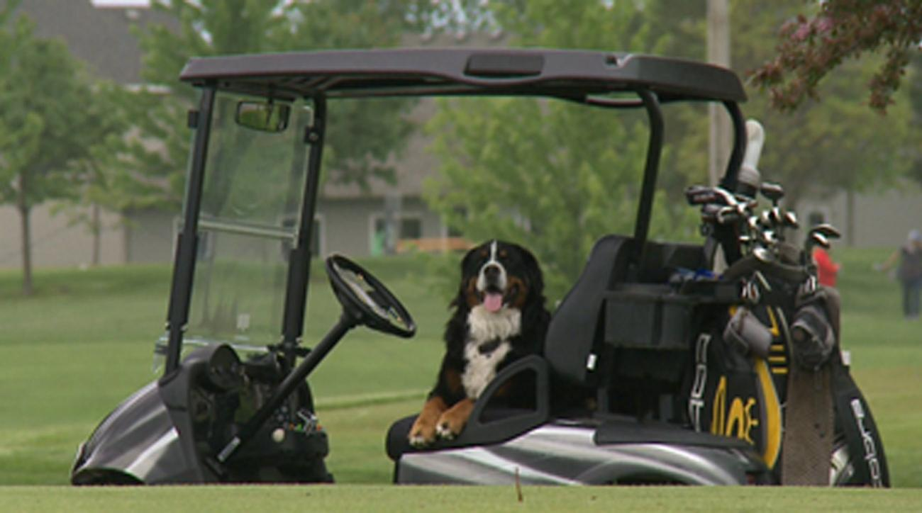 Davos the Bernese Mountain Dog enjoys retrieving his owner's wayward golf balls.