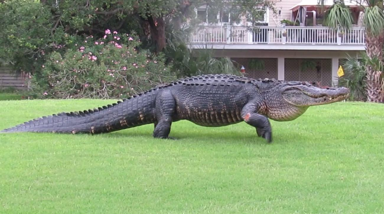 The alligator as seen in the Fripp Island Activity Center Facebook post.